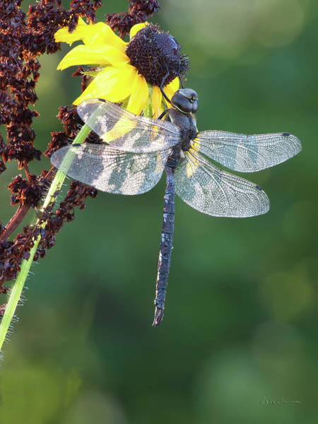 Photograph -  Darner by Vickie Szumigala
