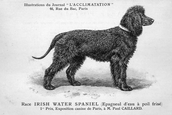 Wall Art - Drawing -  Dog Standing Side On In A  Classic by Mary Evans Picture Library