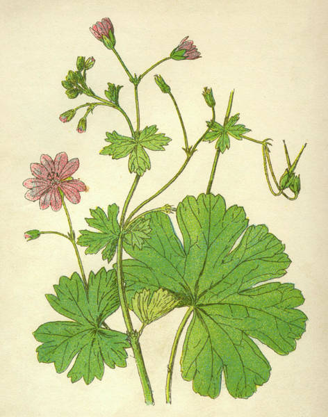 Wall Art - Drawing -  Dove's Foot Geranium         Date by Mary Evans Picture Library