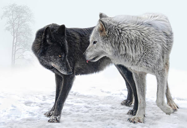 White Wolf Photograph -  Ebony And Ivory  by Joachim G Pinkawa