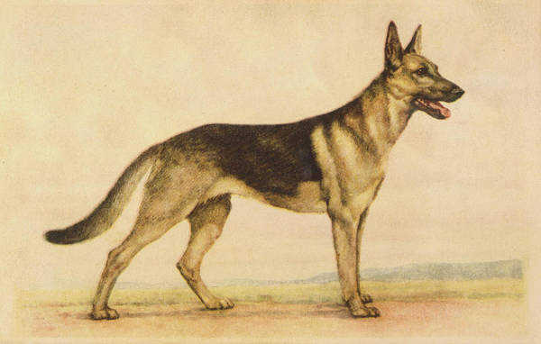 German Shepherd Drawing -  Formerly Known As The Alsatian by Mary Evans Picture Library