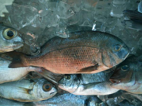 Photograph -  Fresh Dorado Fish Santorini Greece by Colette V Hera  Guggenheim