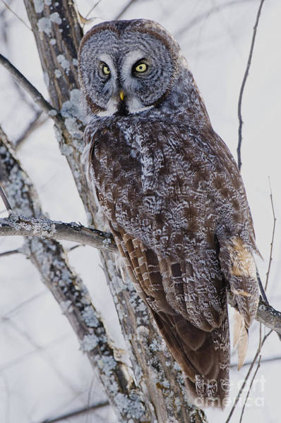 Wall Art - Photograph - Great Gray Owl Pictures 207 by World Wildlife Photography
