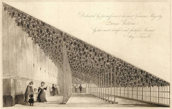 Royal Court Drawing -  Hampton Court  The Great Vine by Mary Evans Picture Library