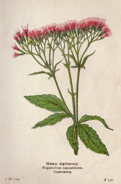 Early 20th Century Drawing -  Hemp Agrimony         Date Early 20th by Mary Evans Picture Library