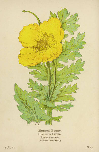 Early 20th Century Drawing -  Horned Poppy         Date Early 20th by Mary Evans Picture Library
