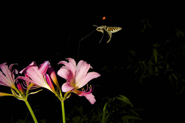 Surprise Lily Photograph -  Hummingbird Moth by Paul Burns