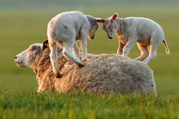 Cute Overload Photograph -  Leap Sheeping Lambs by Roeselien Raimond