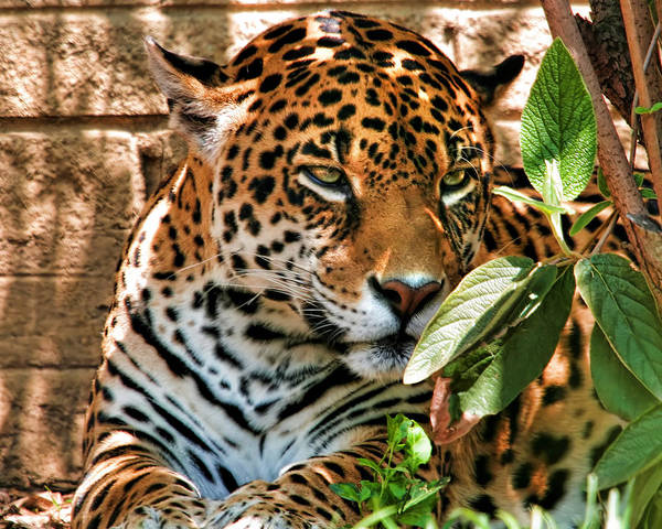Photograph - Leopard by Mary Almond