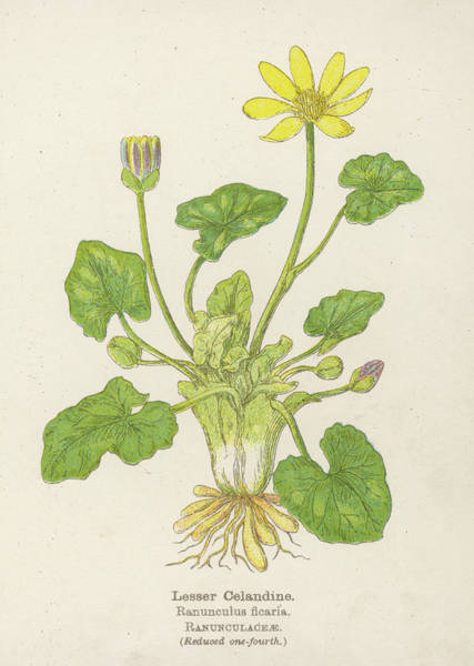 Early 20th Century Drawing -  Lesser Celandine, Or Pilewort by Mary Evans Picture Library