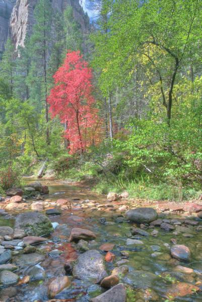 Photograph -  Lone Maple Fall Creek by Harold Rau