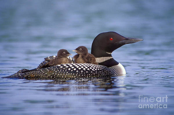New Hampshire Wall Art - Photograph -  Loon Carrying Chicks 44 by Jim Block