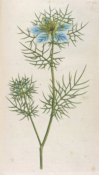 Mist Drawing -  Love-in-a-mist, Or Devil-in-a-bush, Or by Mary Evans Picture Library