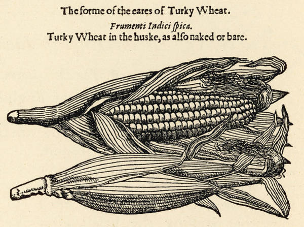 Indian Corn Drawing -  Maize, Or Indian Corn, Named By Gerard by Mary Evans Picture Library