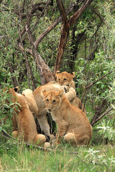 Photograph -  Masai Mara Lion Cubs by Aidan Moran