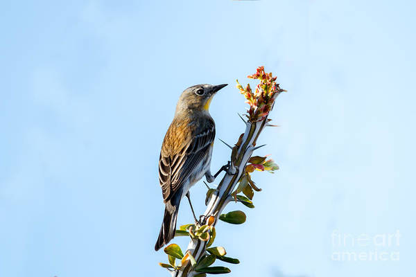 Yellow-rumped Warbler Photograph -  Migrating Warbler by Robert Bales