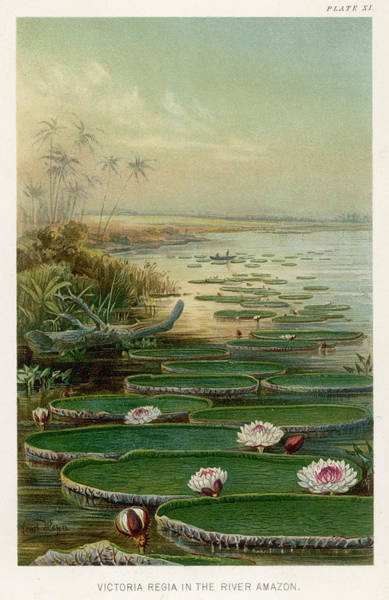 Victoria Amazonica Wall Art - Drawing -  Or Victoria Regia, On The Amazon by Mary Evans Picture Library