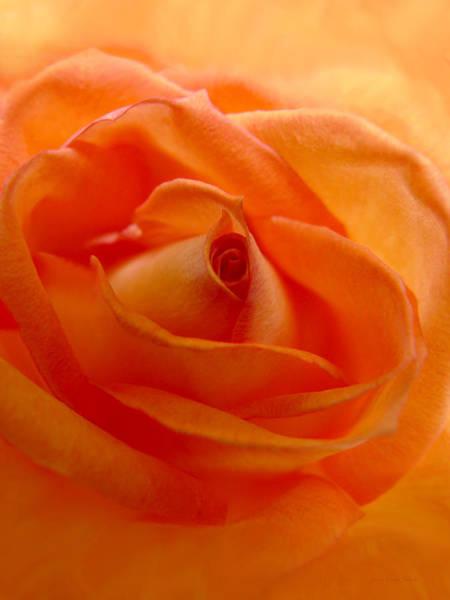 Jennie Photograph -  Orange Swirls Rose Flower by Jennie Marie Schell