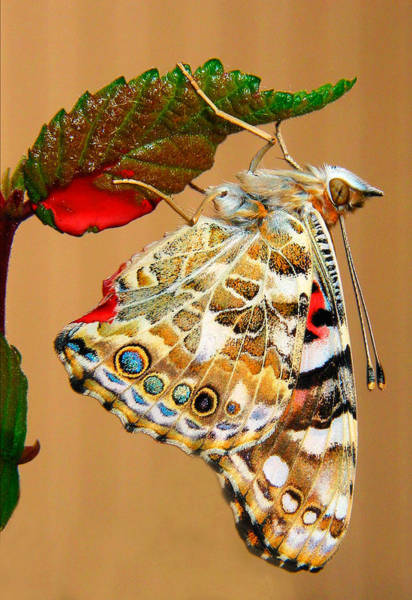 Wall Art - Photograph -  Painted Lady Butterfly by David and Carol Kelly