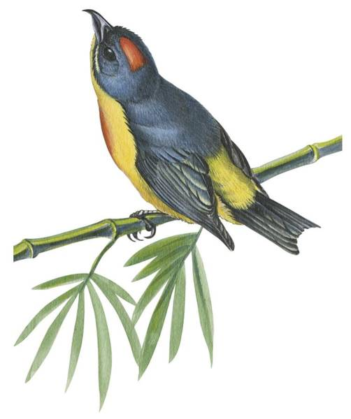 Zoo Animals Drawing -  Philippine Flowerpecker by Anonymous