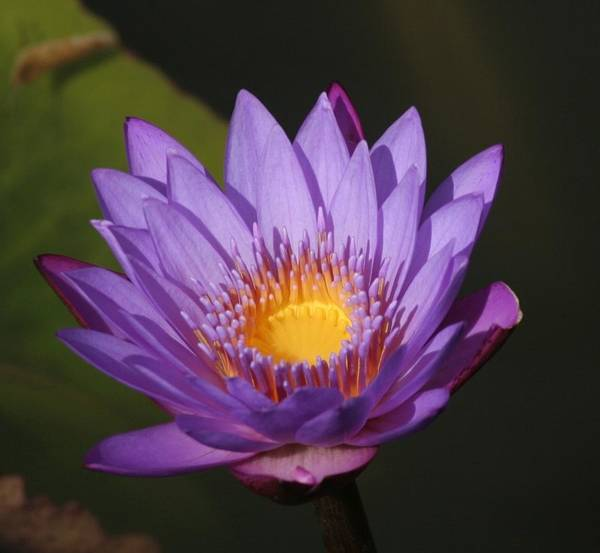 Purple Water Lily Art Print