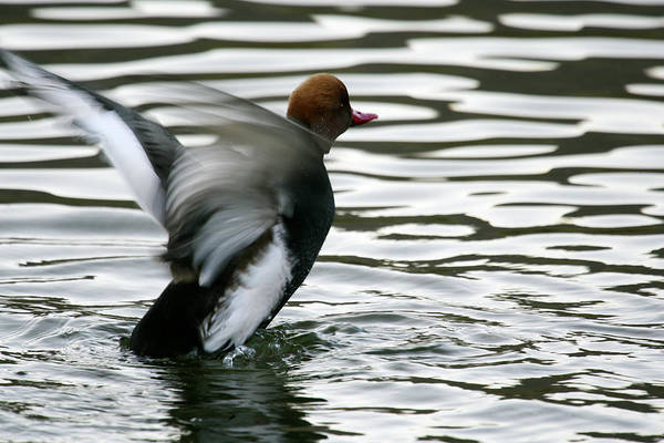 Wall Art - Photograph -  Red-crested Pochard -netta by David Santiago Garcia