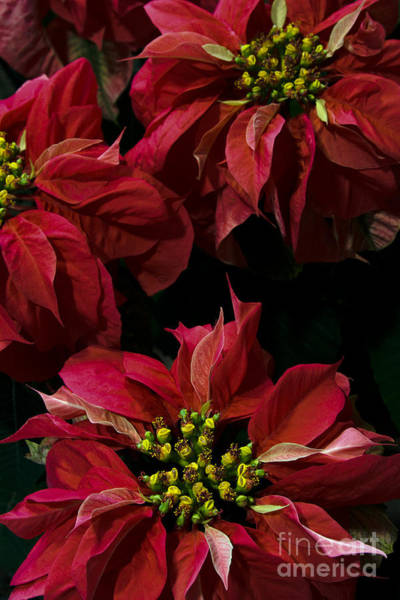 Photograph -  Red Poinsettias Flowers by Chris Scroggins