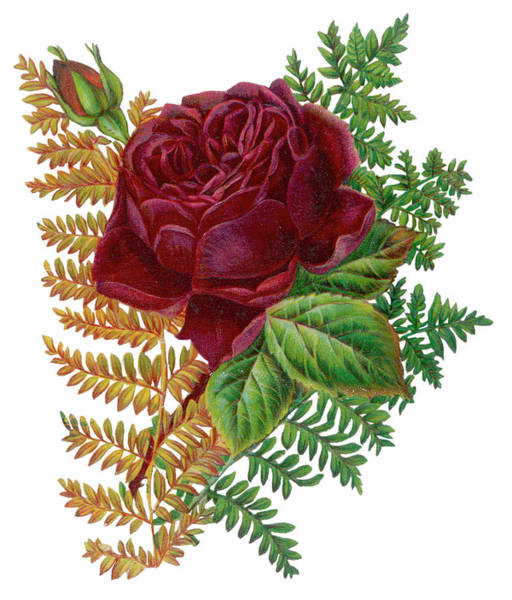 Ferns Drawing -  Red Rose And Ferns         Date Circa by Mary Evans Picture Library