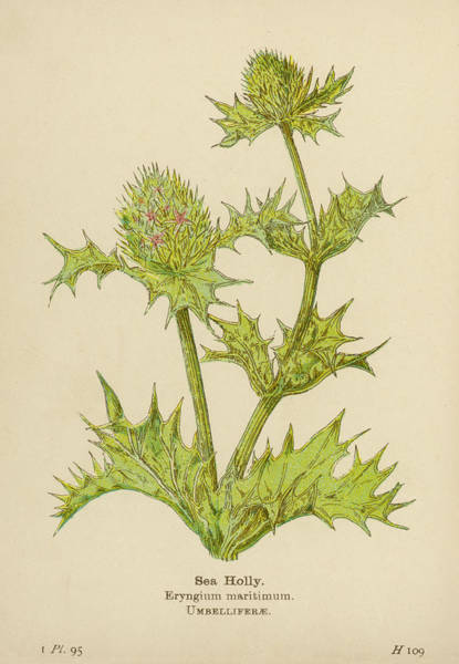 Early 20th Century Drawing -  Sea Holly         Date Early 20th by Mary Evans Picture Library