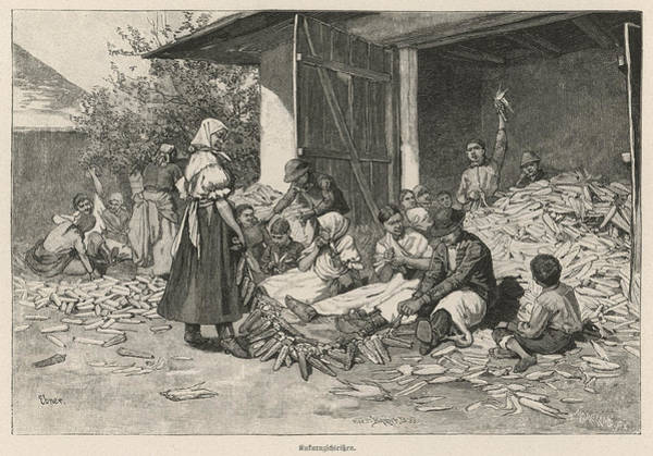 Indian Corn Drawing -  Shucking Indian Corn (maize) by Mary Evans Picture Library