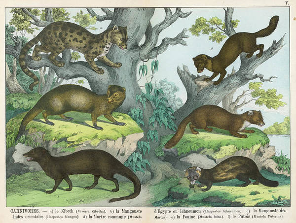 Carnivorous Drawing -  Six Types Of Carnivore Indian Civet by Mary Evans Picture Library