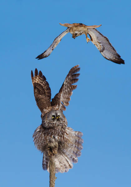 Wing Back Photograph -  Sky Battle by Mircea Costina Photography