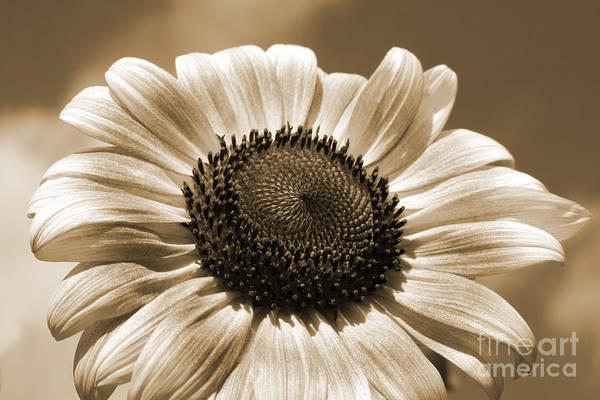 Photograph -  Sunflower by Chris Scroggins