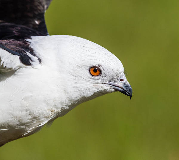 White-tailed Kite Photograph -  Swallow-tailed Kite by Jeff Donald