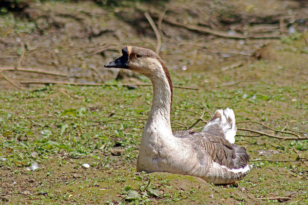 Photograph -  Swan Goose by Tony Murtagh