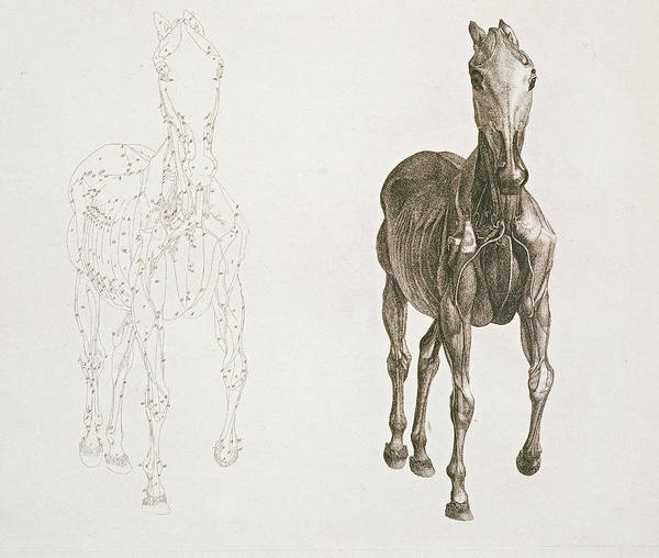 Tab Viii From The Anatomy Of The Horse Art Print