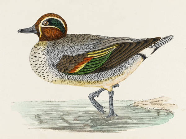 Teal Drawing -  Teal Duck (anas Crecca)        Date by Mary Evans Picture Library