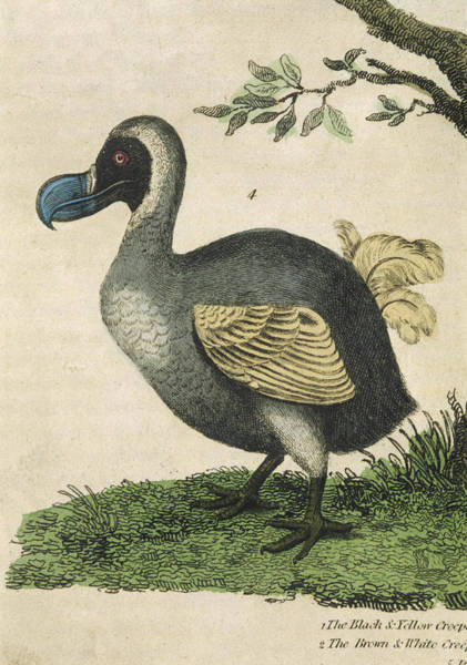 Wall Art - Drawing -  The Dodo, In Profile by Mary Evans Picture Library