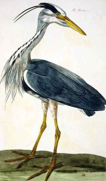 Freshwater Wall Art - Painting -  The Heron  by Peter Paillou