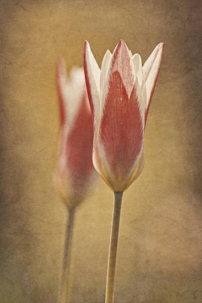 Photograph -  Tulips Together by Theo O'Connor