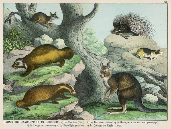 Wolverines Drawing -  Various Carnivores, Marsupials by Mary Evans Picture Library