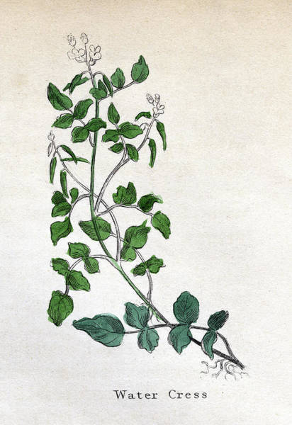 Wall Art - Drawing -  Water Cress         Date Circa 1820 by Mary Evans Picture Library
