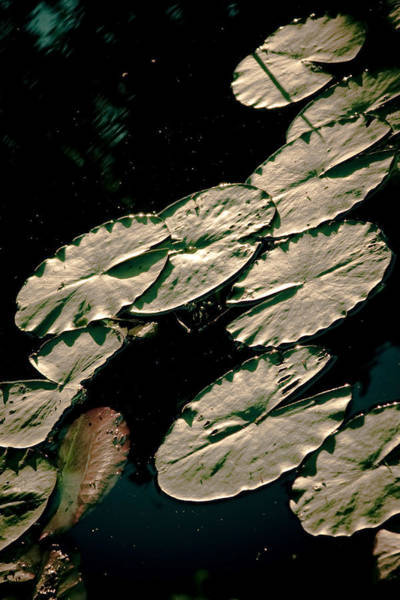 Photograph -  Water Lily Leaves by Raimond Klavins