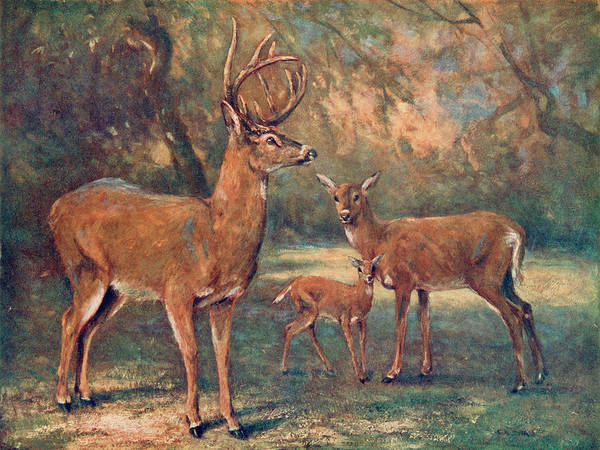 White Tailed Deer Drawing -  White Tailed Virginian Deer  (cariacus by Mary Evans Picture Library