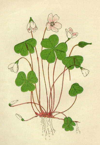 Early 20th Century Drawing -  Wood Sorrel         Date Early 20th by Mary Evans Picture Library