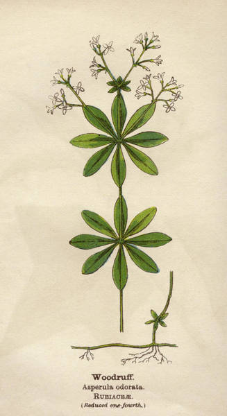 Early 20th Century Drawing -  Woodruff         Date Early 20th by Mary Evans Picture Library