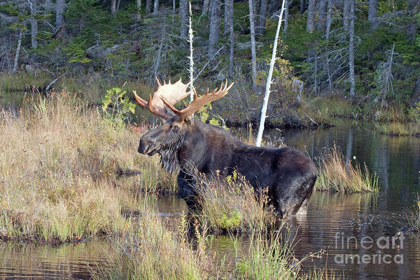Baxter State Park Photograph - 0340 Bull Moose 2 by Steve Sturgill