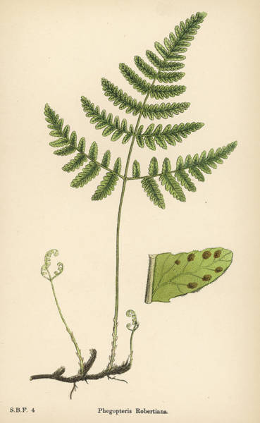 Ferns Drawing -           Date 1863+ by Mary Evans Picture Library