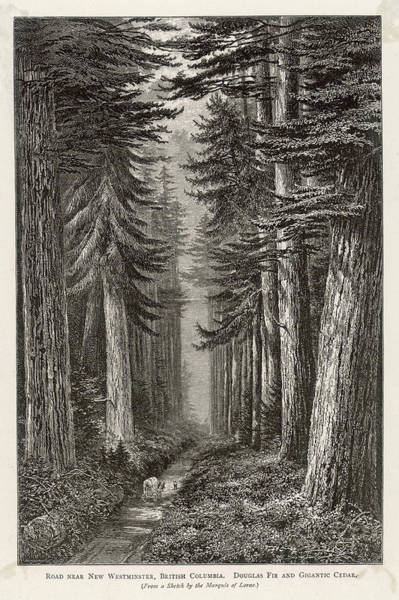 Wall Art - Drawing -  Douglas Firs And Gigantic  Cedar by Mary Evans Picture Library