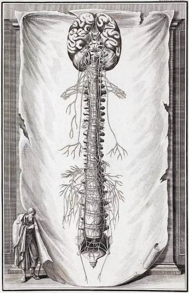 Nervous System Photograph - 1731 Human Brain Spine Dissection Vesling by Paul D Stewart
